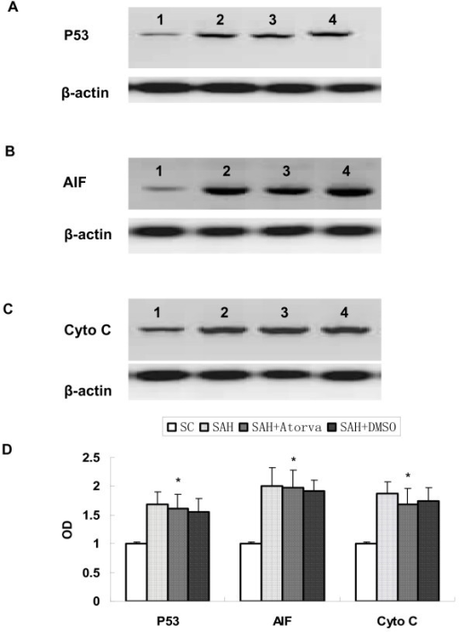 Represent Western blot for expression of P53 (A), AIF (B), and Cytochrome C (C) in brain cortex. Obvious increase of these apoptosis-related proteins was observed after SAH, while they were not affected by atorvastatin-treatment. Each column represents 5 independent experimental results (D). (1, Sham operated control; 2, SAH; 3, SAH+Atorvastatin; 4, SAH + DMSO. *, P = ns vs DMSO group).