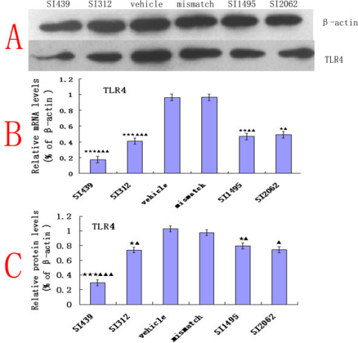 Molecular down-regulation of TLR4 mRNA and protein upon treatment with siRNA. (B) TLR4 mRNA levels in microglial cells line (HAPI), normalized to β-actin, were significantly reduced in TLR4 siRNA (SITLR4) versus mismatch siRNA- and vehicle-treated cells 24 h after transfection. siRNA439 was the most effective at knocking down TLR4 expression(n = 4, ANOVA1w, P < 0.001, post hoc Dunnett testing, df = 3, F = 1.08). (A) The TLR4 protein levels detected by western blotting analysis in HAPI 48 h after transfection, normalized to β-actin. (C) TRL4 protein levels were significantly reduced following treatment with TLR4 siRNA (SITLR4) compared with vehicle or mismatch siRNA treatment. Each data point represents at least three independent experiments. Values are presented as mean ± SEM. *P < 0.05, **P < 0.01, ***P < 0.001 vs. vehicle-treated cells; ▲P < 0.05, ▲▲P < 0.01, ▲▲▲P < 0.001 vs. mismatch siRNA-treated group.