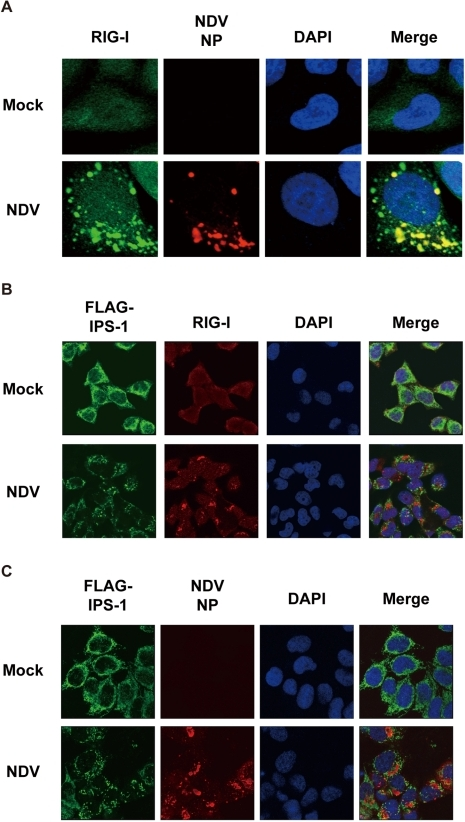 Localization of viral nucleocapsid, RIG-I, and IPS-1.A, HeLa cells were infected with NDV for 12 h and stained with anti-RIG-I antibody (RIG-I) and anti-NP antibody (NDV NP). B and C, IPS-1-HeLa cells were infected with NDV for 12 h and stained with anti-FLAG antibody and anti-RIG-I antibody or anti-NP antibody.