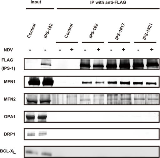 IPS-1 interacts with MFN1 and MFN2.IPS-1-HeLa cells were infected with NDV for 12 h, and then FLAG-IPS-1 was immunoprecipitated with anti-FLAG antibody. Co-immunoprecipitated MFN1 and MFN2 were detected by anti-MFN1 antibody and anti-MFN2 antibody, respectively. Neither OPA1 nor DRP1 was co-immunoprecipitated with FLAG-IPS-1. Mitochondrial protein BCL-Xl was used as a control and was also examined by anti-BCLXl antibody.