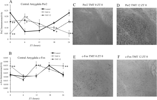 TMT exposure differentially affects PER2 and c-Fos in the central amygdala (CE) based on time of exposure.TMT exposure altered the rhythm and amount of PER2 expression in the CE amygdala of both groups, resulting in a low level of expression at ZT0 in the TMT0 group, followed by a high level of expression at ZT 6 for both groups, and a low level of expression at ZT 18 for both groups (A). TMT resulted in increased c-Fos expression at ZT 0 only for the TMT0 group, and increased expression at ZT 12 only for the TMT12 group (B). Photomicrographs showing decreased PER2 immunoreactivity in the CE of a TMT0 animal at ZT 0 (C) in comparison to a TMT12 animal (D). Photomicrographs depicting increased c-Fos expression at ZT 0 for a TMT0 animal (E) in comparison to a TMT12 animal (F). *significantly different from control group at that time point (p<0.05) **significantly different from control and experimental group at that timepoint (p<0.05). The values for ZT 0 are repeated as ZT 24. Error bars represent standard errors.