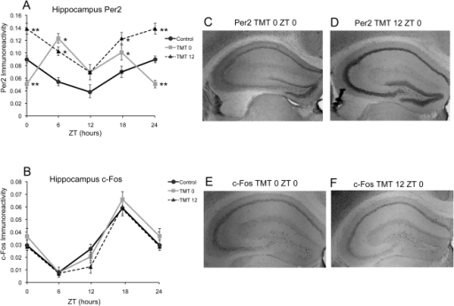 PER2 and c-Fos in the hippocampus is minimally affected by TMT exposure.TMT exposure resulted in overall higher expression of PER2 for both experimental groups, with the exception of lower expression at ZT 0 for the TMT0 group (A). In contrast, c-Fos expression in the Hipp is not affected by TMT exposure (B). Photomicrographs showing less PER2 immunoreactivity at ZT 0 in the Hipp of a TMT0 animal (C) and high amount of immunoreactivity in the Hipp of a TMT12 animal (D). Photomicrographs showing similar amount of c-Fos immunoreactivity in the Hipp of a TMT0 (E) and a TMT12 animal (F). *significantly different from control group at that time point (p<0.05) **significantly different from control and experimental group at that timepoint (p<0.05). The values for ZT 0 are repeated as ZT 24. Error bars represent standard errors.