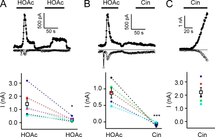 Responses of TRPA1 to weak acids self-desensitize and cross-desensitize responses to Cin. Whole cell currents evoked in HEK-293 cells expressing TRPA1. (A) TRPA1 currents evoked in response to 10 mM of acetic acid, pH 5, decayed after activation and could not be evoked again by acetic acid, indicating that the channels had entered an inactivated state. (B) After inactivation by 10 mM of acetic acid, pH 5, TRPA1 currents could not be activated by 100 µM Cin, indicating that acetic acid could cross-desensitize responses to Cin. (C) 100 µM Cin elicited large currents in TRPA1-expressing cells that were not preexposed to acetic acid. Currents were recorded in the absence of extracellular Ca2+. Average data are shown below each representative trace. Data are represented by the mean ± SEM. Significance was determined with the two-tailed paired (A; comparison between responses to the first and second application of acetic acid) or unpaired (B and C; comparison between responses to Cin with or without preexposure to acetic acid) Student's t test. *, P < 0.05; ***, P < 0.001.