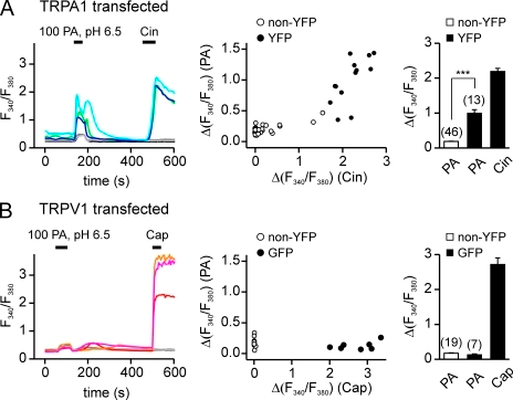 PA activates TRPA1 in Ca2+ imaging. Agonist-induced elevation of intracellular Ca2+ in HEK-293 cells transfected with TRPV1 or TRPA1. (A) TRPA1-expressing HEK cells responded to both 100 mM PA, pH 6.5, and 100 µM Cin. (B) TRPV1-expressing HEK cells responded only to 1 µM Cap and showed nonspecific responses to PA. Scatter plot shows the amplitude of the responses to PA as a function of the responses to Cin (A) or Cap (B). Average responses to PA and Cin (A) or PA and Cap (B) are shown in the bar graph. Data are represented by the mean ± SEM. Significance was determined with the two-tailed Student's t test. ***, P < 0.001.