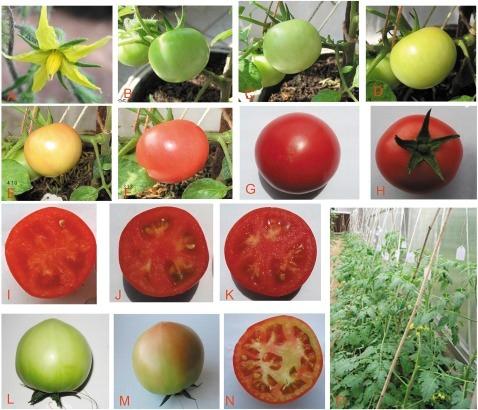 Ripening in RNAi transgenic tomato fruit with suppresse | Open-i