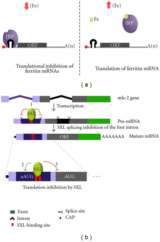 Translational regulation by RNA binding proteins. (a) In iron-deficient cells, IRPs bind to the IRE localized in the 5′ UTR of ferritin mRNA, blocking its translation. Once cellular iron levels increase, a complex containing Fe binds to IRPs. Thus, these proteins are allosterically modified, which reduces IRP-IRE binding and allows the translation of ferritin mRNAs. (b) msl-2 gene regulation in females flies. After transcription in the nucleus, SXL specifically binds to intronic U-rich regions of msl-2 pre-mRNA and inhibits the intron removal (1). In the cytoplasm, SXL binds to the same elements localized now in the 5′ UTR of mature msl-2 mRNA, enhances the translation initiation of a upstream ORF (2), and prevents the main ORF translation (3). The regulatory elements in the 3′ UTR of msl-2 mRNA were not represented.
