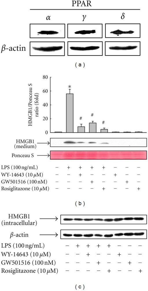 Activation of PPARs by ligand inhibits LPS-induced release of HMGB1 in RAW 264.7 cells. (a) Cells were harvested and the expression levels of PPARs were detected by using Western blot with indicated antibodies, as described in Section 2. (b) Cells grown to 60% confluency were incubated with serum-free medium for 24 h and then stimulated with LPS in the presence or absence of ligands for 24 h. Equal volumes of conditioned media were subjected to Western blot analysis. Ponceau S staining was used as a loading control. (c) At the same time, total protein was extracted, fractionated by electrophoresis, and immunoblotted with the indicated antibodies. Representative blots and densitometric measurements from three independent experiments are shown. The results are expressed as the means ± S.E. (n = 3). *P < 0.01 compared to untreated group; #P < 0.01 compared to LPS-treated group.