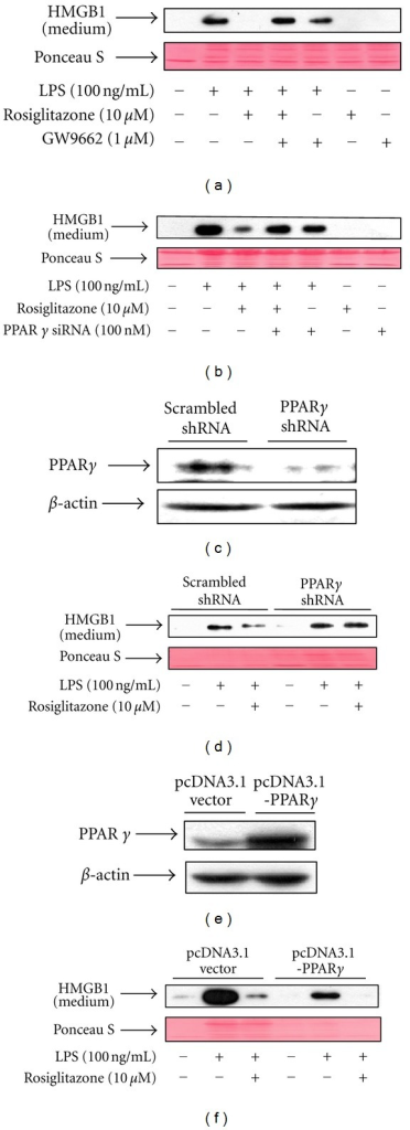 PPARγ regulates LPS-induced release of HMGB1 in RAW 264.7 cells. (a) Cells pretreated for 1 h with GW9662 were stimulated with LPS in the presence or absence of rosiglitazone for 24 h. Conditioned medium was collected and subjected to Western blot analysis for determination of HMGB1 levels. (b) Cells transfected with PPARγ siRNA for 38 h were incubated with serum-free medium for 24 h, and then treated with LPS in the presence or absence of rosiglitazone for 24 h. Equal volumes of conditioned media were subjected to Western blot analysis. (c) Cells were transfected with a vector encoding one hairpin siRNA against PPARγ or encoding a scrambled shRNA control. Stable transfectants were selected with 100 μg/mL hygromycin, and the expression levels of PPARγ were determined by Western blot analysis. (d) Cells expressing PPARγ shRNA or scrambled control shRNA were treated with LPS in the presence or absence of rosiglitazone for 24 h. Conditioned medium was subjected to Western blot analysis for the determination of HMGB1 levels. (e) Cells transfected with pcDNA3.1-PPARγ, or pcDNA3.1 vector for 48 h were harvested and subjected to Western blot analysis with indicated antibodies. (f) Cells transfected with pcDNA 3.1 or pcDNA3.1-PPARγ for 48 h were incubated with serum-free medium for 24 h and then stimulated with LPS in the presence or absence of rosiglitazone for 24 h. Equal volumes of conditioned media were subjected to Western blot analysis for the detection of HMGB1. Ponceau S staining was used as a loading control. The results shown are representative of three independent experiments.