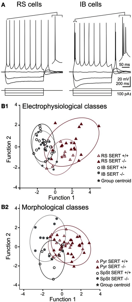 Action potential firing pattern and discriminant analysis of electrophysiological and morphological properties of excitatory layer IV cells. (A) Representative whole cell current clamp recordings showing regular spiking (RS) and intrinsically bursting (IB) firing patterns in SERT−/− excitatory layer IV cells. Both firing patterns were observed in both genotypes (SERT+/+ and SERT−/−) as well as both morphological classes (spiny stellate cells and pyramidal cells). (B) Canonical score plots based on discriminant analysis of the genotype specific electrophysiological (upper panel) and morphological classes (lower panel) as a-priory groups. Plots were based on two functions which combined the best characteristics defining either the firing patterns (B1; function 1: high and low current 1st ISI; function 2: firing threshold, 2nd AP amplitude) and morphological classes (B2; function 1: Vrmp, high current 2nd ISI; function 2: high current 1st ISI, 2nd AP amplitude). Both analysis properties show no segregation of genotype specific populations.