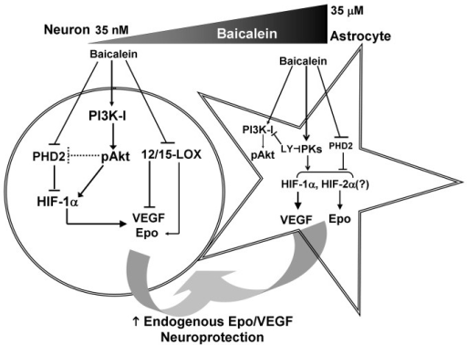 Cell Type Specific Signaling Mechanism Of Baicalein Ind