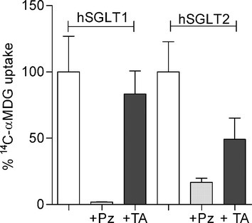 Inhibitors effect on [14C]‐αMDG uptake mediated by hSGLT1 and hSGLT2. [14C]‐αMDG uptake was measured in HEK‐293T cells expressing hSGLT1 or hSGLT2 in control conditions (white bars), in presence of 100 μmol/L phlorizin (Pz, light gray bars) and 300 nmol/L (hSGLT1) or 2 nmol/L (hSGLT2) TA‐3404 (TA, dark gray bars). Uptake was measured at 37°C and expressed as quantity of tracer (pmol) per minute per μg protein. Bars are means ± SE, n = 4 wells.