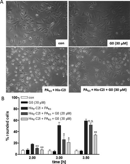PAMAM dendrimer G0 protects cells from intoxication with His6-C2I/PA63. HeLa cells were incubated at 37 °Cwith 8 μg/mL His6-C2I + 0.8 μg/mL PA63 in the presence or absence of 20 or 30 μM G0. For control(con), cells were left untreated or treated with G0 alone. After theindicated time points, pictures were taken to monitor the changesin cell morphology. (A) The morphology of cells after 3.5 h of toxin-treatmentis shown. (B) The percentage of rounded cells was determined fromthe pictures. The values are given as mean ± SD (n = 3). Significance was determined by the Student's t test for cells treated with the toxin in the presenceof G0 against cells treated with the toxin in the absence of G0 (***p < 0.0005; ** = p < 0.005, *p < 0.05).