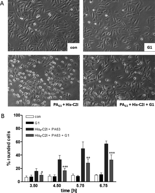 PAMAM dendrimer G1 protects cells from intoxication with His6-C2I/PA63. HeLa cells were incubated at 37 °Cwith 10 μg/mL His6-C2I + 1 μg/mL PA63 in the presence or absence of 5 μM G1. For control (con),cells were left untreated or treated with G1 alone. After the indicatedtime points, pictures were taken to monitor the changes in cell morphology.(A) The morphology of cells after 4.5 h of toxin-treatment is shown.(B) The percentage of rounded cells was determined from the pictures.The values are given as mean ± SD (n = 6). Significancewas determined by the Student's t test forcells treated with the toxin in the presence of G1 against cells treatedwith the toxin in the absence of G1 (***p < 0.0005;**p < 0.005; *p < 0.05).