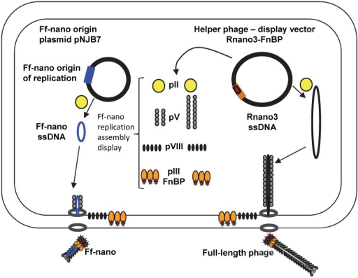 "The system for production of functionalized Ff-nano.Escherichia coli cells containing the Ff-nano production plasmid pNJB7 were infected with the helper phage Rnano3FnB containing the coding sequence of a ""probe"" or ""detector"" protein fused to pIII. Upon infection, pII from the helper phage induces positive strand replication from the pNJB7 Ff-nano origin of replication and also provides all other phage proteins and assembly machinery for production of the Ff-nano particles. All five copies of pIII are fusions to the probe (only three copies of pIII fusions are shown)."