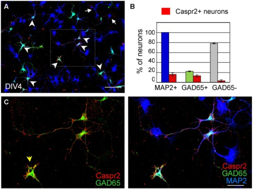 GAD65-positive neurons are the main target of anti-Caspr2 LE1 autoantibodies. DIV4 hippocampal neurons were surface labeled with LE1 IgGs (red), fixed and permeabilized before immunostaining for MAP2 (blue) as a neuronal marker and GAD65 (green) to identify inhibitory neurons. (A) Low magnification image showing neurons that were surface labeled for Caspr2 (red). Most of them were GAD65-positive (green, arrowheads) and few were GAD65-negative (arrows). The box enlarged in C shows GAD65-positive neurons in green that were surface labeled for Caspr2. The arrowhead points to an isolated inhibitory neuron strongly labeled for Caspr2 on the soma (B) Quantitative analysis of the percentage of total neurons, GAD65-positive and GAD65-negative neurons that were surface labeled for Caspr2. Means ± SEM of three independent experiments. (A) Tiling of 5 × 4 confocal images acquired with the 63x objective, z-stack of 6 confocal sections with z-step of 0.5 μm. Bar is in A, 80 μm; in (C), 35 μm.