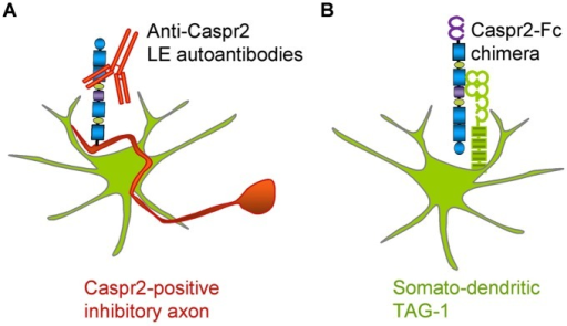 Schematic representation of Caspr2 and Caspr2-Fc complementary distribution in hippocampal neurons. (A) Anti-Caspr2 autoantibodies target preferentially the axons of inhibitory neurons. (B) TAG-1 is required as a post-synaptic receptor of Caspr2.