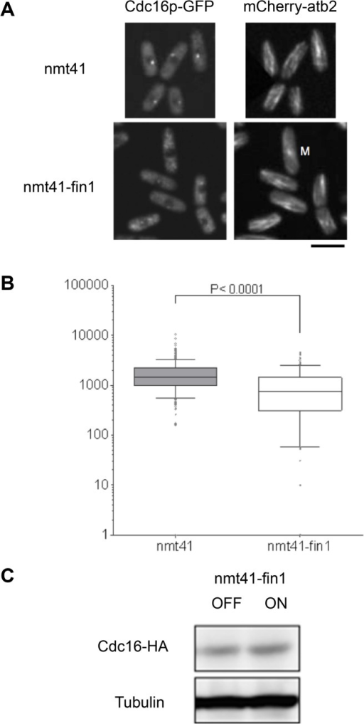 Fin1p over-expression results in Cdc16p disassociation from the SPB.(A) Cells expressing the labeled tubulin marker leu1::m-Cherry-atb2 and cdc16-GFP were induced to express fin1 from the medium strength nmt41 promoter [80]. Cells transformed with empty vector served as control. Cells were grown in medium without thiamine for 27h at 25°C. Cells were imaged and the intensity of SPB associated cdc16-GFP signal was analyzed as described in [12]. The panel shows m-Cherry-atb2 leu1::cdc16-GFP(ura4+) cells bearing REP41 or REP41-fin1. The scale bar is 10 μm. (B) The SPB associated signal was determined in interphase cells in each strain. Since REP41-fin1 eventually leads to a mitotic arrest [87] interphase cells were identified by the presence of an interphasic microtubule array. The box shows 25%-75% range for the population, the line indicates the median. The bars indicate 10% and 90% range for the population, and dots indicate more extreme individual values. The y-axis shows fluorescence intensity on an arbitrary scale. (C) Cells bearing the leu1::cdc16-HA allele were induced to express fin1 (ON) by growing them in defined minimal medium [81] in the presence (OFF) or absence (ON) of 2mM thiamine. Protein extracts were prepared 27h after induction and analyzed by western blotting using monoclonal antibody 12CA5. The anti-α-tubulin monoclonal antibody TAT-1 [90] was used as a control.