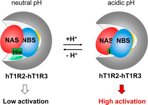 Probable model for the taste-modifying activity of NCL.Cartoon representation of the possible model. At neutral pH, NCL binds to the human sweet receptor and slightly activates it (Left). At acidic pH, the binding mode is locally altered by protonation of the histidine residues of NCL, leading to the strong activation of the receptor (Right).