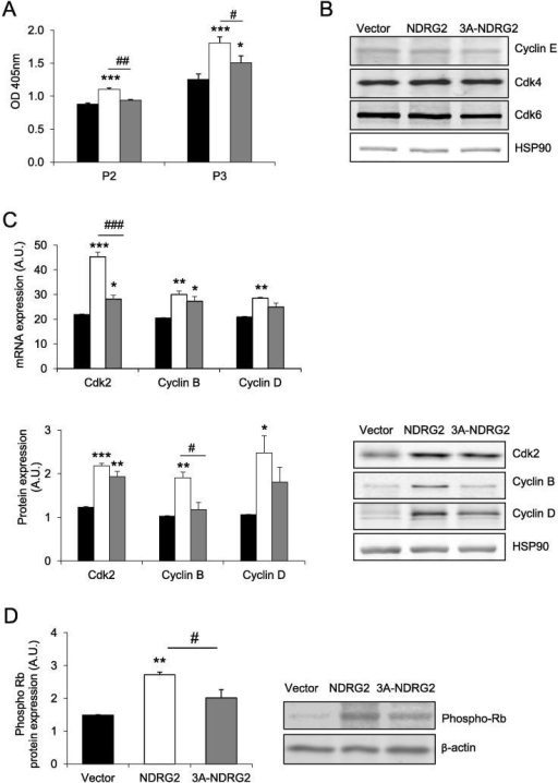 The effect of NDRG2 and 3A-NDRG2 overexpression on C2C12 myoblast proliferation and expression of positive cell cycle regulators at day 2 (P2) or day 3 (P3) of proliferation. (A) Proliferation rate of C2C12 myoblasts following infection with vector (black bars), NDRG2 (white bars) or 3A-NDRG2 (gray bars) (n = 6 per treatment) at P2 and P3. (B) Protein expression of cell cycle regulators cyclin E, Cdk4 and Cdk6. (C) mRNA (upper panel) and protein (lower panel) expression of Cdk2, cyclin B, cyclin D, and (D), Rb phosphorylation levels following vector, NDRG2 and 3A-NDRG2 overexpression at P3. Data are mean of three independent experiments (n = 3 per treatment). HSP90 or β-actin expression indicates protein levels loaded. ***P < 0.001, **P < 0.01, *P < 0.05 compared to vector; ###P < 0.001, ##P < 0.01 and #P < 0.05 compared to NDRG2.