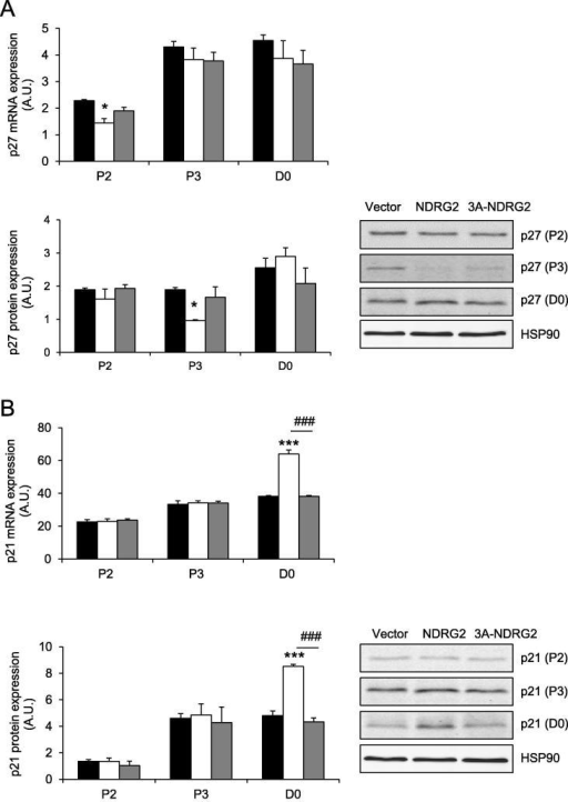 The expression of negative cell cycle regulators following NDRG2 and 3A-NDRG2 overexpression in myoblasts at days 2 and 3 of proliferation (P2 and P3) and at confluence (D0). (A) p27 mRNA (upper panel) and protein (lower panel) expression, and (B) p21 mRNA (upper panel) and protein (lower panel) expression with representative blots indicated. Data are mean of three independent experiments (n = 3 per treatment). HSP90 expression indicates protein levels loaded. ***P < 0.001 and *P < 0.05 compared to vector; ###P < 0.001 compared to NDRG2.