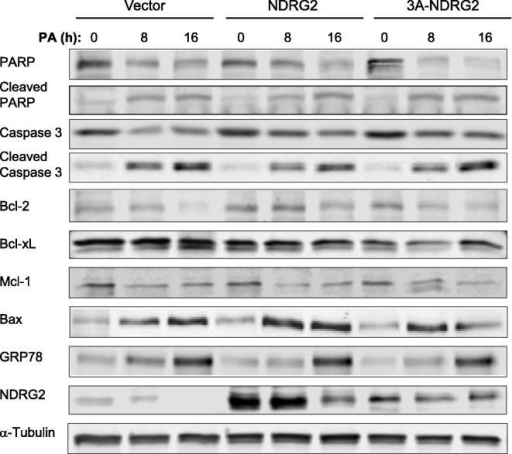 Protein expression levels of NDRG2, apoptotic and ER stress markers following 0, 8 and 16 h palmitate (PA) treatment of vector, NDRG2 and 3A-NDRG2-infected C2C12 myoblasts at P3. Protein loading is indicated by the α-Tubulin immunoblots.