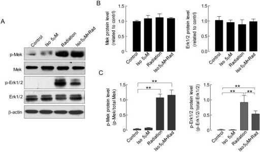 Isoalantolactone inhibits radiation-induced Mek and Erk1/2 protein phosphorylation in UMSCC-10A cells.(A) Whole-cell protein extracts were prepared from UMSCC-10A cells that were treated with radiation and isoalantolactone alone or in combination. Isoalantolactone at a dose of 5 μM was added to the cultured cells 16 hours prior to radiation 4 Gy exposure. The blot was probed with antibodies against Mek, Erk1/2, p-Mek, p-Erk1/2 and β-actin. (B) Mek and Erk1/2 protein expression relative to that of β-actin were assessed by densitometric analysis. p-Mek and p-Erk1/2 were expressed as the radio of p-Mek/total Mek and p-Erk1/2/total Erk1/2. ** P<0.01, compared with the control or radiation alone.