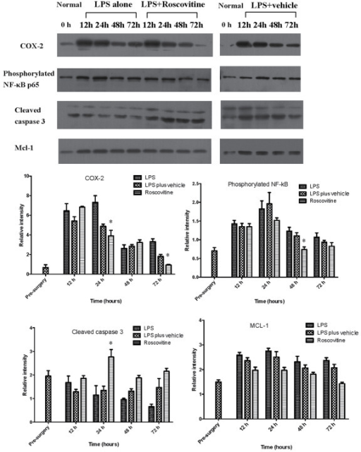Roscvovitine promotes apoptosis through increased expression of cleaved caspase 3 and decreased expression of Mcl-1. The expression of COX-2, phosphorylated NF-κB and Mcl-1 were increased at 24 h, but decreased gradually over time. The expression of COX-2 was significantly different between the LPS and roscovitine groups at 24 and 72 h (P=0.021 and 0.035, respectively). The expression of phosphorylated NF-κB was significantly decreased at 48 h (P=0.047). The expression of cleaved caspase 3 was markedly increased in the roscovitine group at 24 h (P=0.029). No statistically difference was observed in Mcl-1 expression among the groups. *P<0.05 vs. the LPS group. LPS, lipopolysaccharide; COX-2, cyclooxygenase-2; NF-κB, nuclear factor-κB; Mcl-1, myeloid cell leukemia 1.