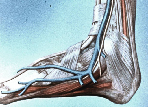 abductor hallucis muscle; flexor digitorum brevis muscle