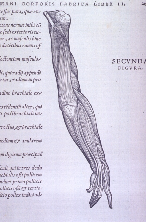 <p>Vignette of typical muscle structure.</p>