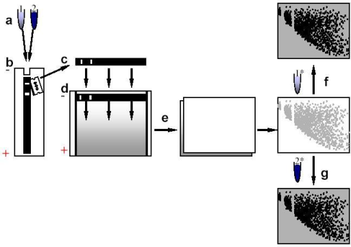 Schematic outlining Bacterial Comparative Genomic Hybridization. (a) Samples to be compared are digested with the same frequent cutting enzyme(s) and combined. (b) The combined sample is then size separated on a first dimension polyacrylamide gel. (c) The first dimension gel lane is then cut from the gel and transferred to the top of a denaturing gradient polyacrylamide gel. (d) Sample fragments are then resolved in the second dimension based on melting characteristics. (e) The gel is then washed and the DNA electroblotted to a nylon membrane. (f,g) The nylon membrane is then alternatively hybridized with radiolabelled genomic DNA probe (asterisk) of generated from the comparison samples.
