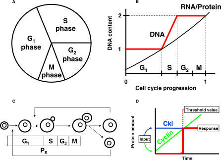 Main Events That Occur during the Yeast Cell Cycle(A) General representation of the cell cycle showing the discontinuous events that have to take place only once per cell cycle, namely the S phase and the M phase, spaced with G1 and G2 phases that allow increase of the cell size before DNA replication and cell division, respectively.(B) During the dynamics of the cell cycle, RNA and proteins increase exponentially, while the DNA content show a typical doubling amount until the cell divides to generate a newborn daughter. From G1 to M phases, the cell increases continuously in mass.(C) Typical representation of the cell cycle that points out the coordination of the increase in cell mass with DNA replication and cell division in order to maintain size homeostasis. DNA replication and cell division start only when cells have reached a critical cell size (PS and PM, respectively).(D) General representation of the molecular threshold. It involves two molecules, an activator and an inhibitor. When the activator increases with growth, the threshold is overcome when enough molecules of the activator are made to exceed the inhibitor.