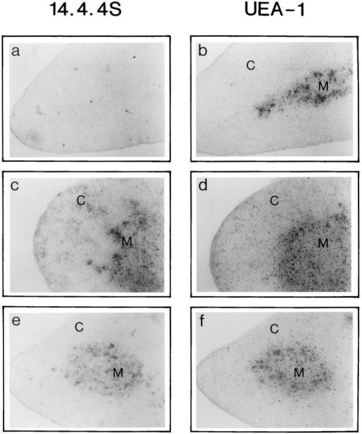 Serial cryostat sections of normal adult thymus stained with  14.4.4S specific for I-E (a, c, and e) and UEA-1 (b, d, and f  ), a lectin binding specific for medullary epithelial cells (28). (a and b) Serial sections of a  wild-type B6 (I-E−) thymus. (a) I-E, no I-E staining can be detected in  the B6 background, (b) UEA-1, staining is restricted to dense aggregates  of epithelial cells in the medulla (M), while no staining can be detected in  the cortex (C). (c and d) Serial sections of B6-Eαd (I-E+) thymus, class II I-E  transgene staining is confluent on BM-derived and epithelial cells in the  medulla (M), and reticular staining in the cortex (C) is typical of epithelial  cells. UEA-1 staining (as in b) marking the medullary region (M) only.  (e and f   ) Serial sections of B6CD11c-Eαd thymus. I-E (e) transgene under  control of the CD11c promoter can be detected only in medulla (M) and  medullary-cortical junctions. No I-E staining in cortex (C) was detectable. UEA-1 ( f  ) staining is the same as for b and d. All sections were photographed at ×100.