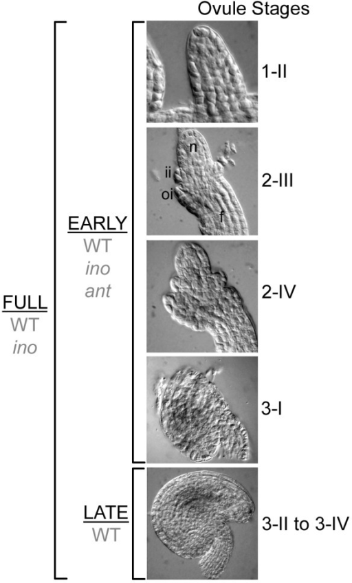 "Stages of ovule development collected in the pistil pools. Differential interference contrast images of wild-type ovules representing stages included in the pools. The FULL pools of pistils contained ovules from stage 1-II, through stage 3-IV (""maturity""). The EARLY pools of pistils contained ovules from stage 1-II through stage 3-I, when the integuments just cover the nucellus. The LATE pool included ovule stages 3-II to 3-IV during which here is little change in ovule shape. The genotypes that were collected for each pool are indicated in grey. Ovules stages are based on Schneitz et al. [2]. f, funiculus; ii, inner integument; oi, outer integument; n, nucellus."
