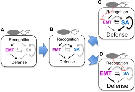A hypothesis of sector switching.First, recognition of MAMPs leads to activation of the EMT sectors (A), which then activates the SA sector (B) [30]. If pathogen effectors perturb the EMT sectors, the inhibition of the SA sector by the EMT sectors becomes negligible, and the SA sector becomes highly activated, including signal amplification involving positive feedback [70], and deploys a potent defense response (C). If pathogen effectors perturb the SA sector, the inhibition of the EMT sectors by the SA sector becomes negligible, and the EMT sectors become highly activated and deploy a strong defense response (D). Note that the EMT sectors and the SA sector are not highly activated simultaneously.