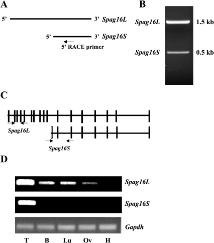 The murine Spag16 gene encodes two transcripts.Spag16L is expressed in all tissues with ciliated cells, while Spag16S is expressed only in testis. (A) 5′ RACE was performed with a primer as indicated. (B) Products of 5′ RACE separated on 1% agarose gel. (C) Exon map of Spag16 transcripts, unfilled box indicating untranslated exon 10a present only in Spag16S. Arrows indicate primers used to amplify specifically Spag16L or Spag16S message. (D) Specific primer sets were used as indicated for PCR amplification of cDNA from adult mouse tissues: Testis (T), Brain (B), Lungs (Lu), Oviduct (Ov), Heart (H).