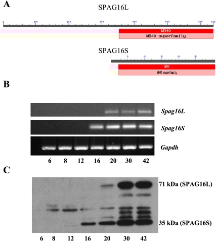 SPAG16 isoforms have identical conserved domains.SPAG16S appears before SPAG16L during the first wave of mouse spermatogenesis. (A) Alignment and conserved domain analysis of SPAG16L and SPAG16S proteins. RNA (B) and protein (C) were isolated from mouse testis at the indicated day (bottom row) after birth. (B) Specific primer sets were used to probe gene expression by PCR of cDNA. (C) Protein samples were separated by SDS-PAGE and probed by Western blotting with a C-terminal SPAG16 antibody that recognizes both SPAG16L (71 kDa band) and SPAG16S (35 kDa band). Additional bands are not specific.