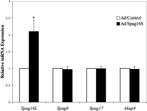 Transduction of SPAG16S induces SPAG16L expression in cultured mouse male germ cells.Isolated adult mouse male germ cells were infected with an adenovirus causing SPAG16S transduction or a control adenovirus. Following 48 hours in culture, RNA was isolated and relative expression levels of indicated transcripts were measured. (* p<0.05 compared with Ad/Control).