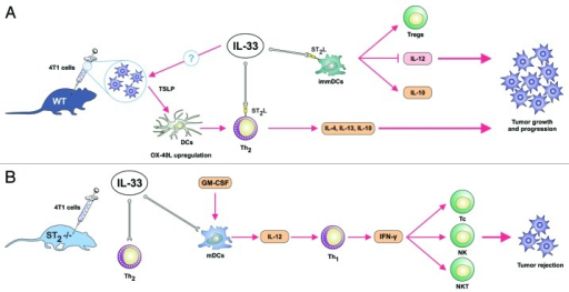 Figure 1. Hypothetical role of IL-33/ST2 axis in tumor growth and progression based on mouse mammary adenocarcinoma 4T1 cancer model. (A) The effects of endogenous and also exogenous IL-33 in tumor-bearing hosts. IL-33 via its receptor ST2L activates Th2-polarized cells and generates relatively immature dendritic cells that do not produce IL-12p70. Subsequently, ST2 signaling could possibly enhance production of thymic stromal lymphopoietin (TSLP) by tumor cells which by upregulating OX40L on dendritic cells lead to induction of IL-4, and more importantly immunosuppressive IL-10 and IL-13 producing Th2-cells that promote cancer escape. Immature dendritic cells induce T regs that contribute to an immunosuppressive environment and facilitate metastasis. (B) In the absence of ST2 (IL-33 receptor), IL-33 produced by epithelial cells and possibly tumor cells does not lead to the activation of Th2-associated immunosuppressive response. Concomitantly, IL-12 produced by classically activated M1 macrophages lead to the maturation of DC, strong IFN-γ production by Th1 cells which activate tumoricidal NK, NKT cells and CD8+ T cytotoxic lymphocytes.