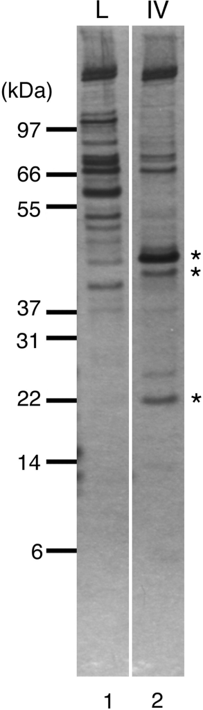 Proteins bound to Pol IV and lysozyme affinity column. Fractions eluted by heating in NuPAGE-loading buffer from the lysozyme control column (L) and the Pol IV column (IV) were separated on NuPAGE Bis–Tris gel and visualized by silver staining. Asterisks indicate protein bands specific to the Pol IV column that were analyzed by mass spectrometry.