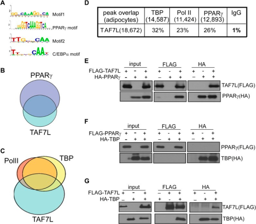 TAF7L colocalizes and associates with PPARγ and TBP.(A) Two top motifs (motif 1 and motif 2) were found in TAF7L binding sites. Motif1 p<2e-20) matches with PPARγ binding motif and motif 2 p<3e-10) matches with C/EBPα binding motif. (B) Overlap of PPARγ peaks with TAF7L peaks in adipocytes, each circle represents the total peaks from ChIP-seq for a factor and the overlapped region represents the common binding peaks of the factors. (C) Similar as in (B); Pol II, TBP and TAF7L peaks from ChIP-seq overlap with each other in adipocytes. (D) Table showed the total peak numbers of each factor in adipocytes from ChIP-seq and the percentage of genome-wide peak overlapping between TAF7L and PPARγ, Pol II, TBP, IgG control. (E) FLAG tagged TAF7L, HA tagged PPARγ were overexpressed in 293T cells, immunoprecipitations were performed on both FLAG and HA antibodies and followed by Western blotting with FLAG and HA antibodies. (F) The same procedures were performed on FLAG tagged PPARγ and HA tagged TBP. (G) The same procedures were performed on FLAG tagged TAF7L and HA tagged TBP as in (E).DOI:http://dx.doi.org/10.7554/eLife.00170.013