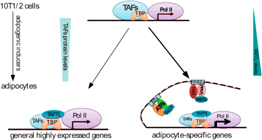 Dual functions of TAF7L in adipocyte differentiation.TAF7L expression is enriched during C3H10T1/2 MSCs adipocyte differentiation while other TFIID subunits (TAFs) decrease in expression. TAF7L regulates adipogenesis by associating with TBP as a component of adipocyte TFIID complex at promoters and with PPARγ or other adipocyte transcriptional factors (ATFs) as a cofactor at enhancers on adipocyte-specific genes, providing the mechanisms of its dual roles during differentiation. General highly-expressed genes are those with high expression before and after adipocyte differentiation include a portion of housekeeping genes; adipocyte-specific genes are those required for adipocyte differentiation and highly upregulated during adipocyte differentiation. TAFs,TBP-associated factors; ATFs, adipocyte transcriptional factors; BEs, binding elements.DOI:http://dx.doi.org/10.7554/eLife.00170.014