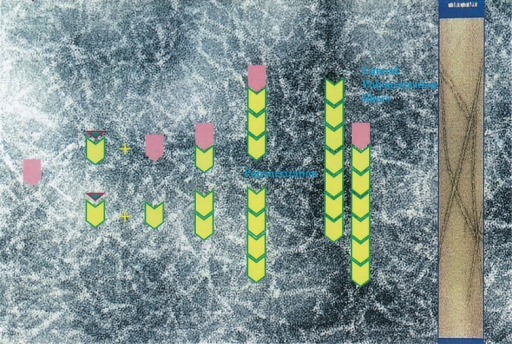 Hypothetical mechanism of coagulogen gel formation.10) Upon gelation of coagulogen (pink) by a horseshoe crab clotting enzyme, peptide C (green) is released from the inner portion of the parent molecules. The resulting coagulin (yellow) monomer may selfassemble to form the dimer, trimer, and multimers. The background of this figure shows a fiber-like coagulin gel.