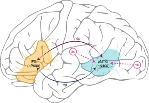 Schematic illustration of a Retrieval-Integration cycle in the left hemisphere. Words reach the posterior Middle Temporal Gyrus (pMTG) via the auditory cortex (ac) or the visual cortex (vc), depending on whether the linguistic input is spoken or written. The pMTG retrieves the lexical information associated with a word from the association cortices (generating the N400). The retrieved information is then connected to the Inferior Frontal Gyrus (IFG) via one of the white matter tracts in either the dorsal pathway (dp) or the ventral pathway (vp). The IFG integrates this information with a representation of the prior context into an updated representation of what is being communicated (generating the P600). Finally, the representation constructed in the IFG feeds back to the pMTG via white matter tracts in the dorsal or ventral pathway, causing pre-activation of lexical features of possible upcoming words.