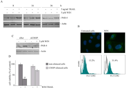 WIN treatment induces PAR-4 upregulation and cell surface GRP78 translocation. (A) Time dependent effect of WIN or WIN/TRAIL combined treatment on the level of PAR-4 protein. After treatment with 5 μM WIN employed alone or in combination with 5 ng/ml TRAIL, cell lysates were analysed by immunoblotting using a specific antibody as reported in Materials and Methods. (B) Effects of WIN treatment on surface GRP78 levels. Upper panel: Determination of surface GRP78 by immunofluorescence. Cells were treated for 24 h with 5 μM WIN, incubated with anti-GRP78 antibody followed by FITC-conjugated secondary antibody and analyzed using an inverted fluorescent microscope as described in Materials and Methods. Nuclei were counterstained with Hoechst 33342 (blue). Lower panel: Cytometric analyses showing cell surface expression of GRP78 in MG63 cells. The open histograms indicate isotype control, filled histograms indicate the expression of GRP78 in untreated and WIN-treated cells. (C) PAR-4 level in CHOP-silenced cells. Silencing of CHOP expression was carried out as reported in Materials and Methods. After WIN treatment cell lysates were analysed by immunoblotting using specific antibody as reported in Materials and Methods. In A and C, actin blots were included as a loading control. (D) Effects of WIN/TRAIL combined treatment in CHOP silenced cells. Silencing of CHOP expression was carried out as reported in Materials and Methods. Cells were treated with 5 μM WIN and/or 5 ng/ml TRAIL for 24 h. MG63 cell viability was estimated by MTT assay as reported under Materials and Methods and expressed as the percentage of control value. Data are the means ± S.E. of four independent experiments involving triplicate assays. **, p<0.01 versus control untreated cells.