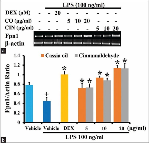 Effects of cassia oil and cinnamaldehyde on mRNA expression of ferroportin1 (a and b) in lipopolysaccharide (LPS)- stimulated macrophages (mean ± standard error of mean) +P < 0.05 compared with untreated control; *P < 0.05 compared with LPSstimulated control