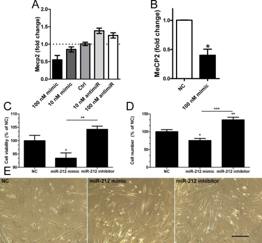 Transfection of miR-132/212 mimics and inhibitors affect MeCP2 expression and cell number in vitro.An initial dosing experiment performed in duplicate using human detrusor smooth muscle cells from one individual shows a reciprocal effect of miR-132 mimic and inhibitor on MeCP2 expression (A). The effect of 100 nM miR-132 mimic was confirmed using cells from three individuals (B). Panel C shows effect of miR-212 mimic and inhibitor (100 nM of each) on cell viability using the MTT assay. Panel D shows the effect of miR-212 mimic and inhibitor on cell number and panel E shows phase contrast light microscopic images of cells transfected with negative control (NC), miR-212 mimic and miR-212 inhibitor. The scale bar in E indicates 20 μm and n = 5 and 8 in C and D, respectively.