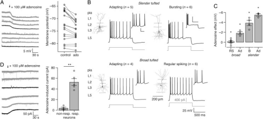 "Layer 3 contains adenosine-sensitive and -insensitive pyramidal neurons. (A) Left, example traces of the RMP during bath application of 100 μM adenosine (start at arrow). Average response is shown in black (top, responding neurons; bottom, nonresponding neurons). Right, RMP during control and 100 μM adenosine (""ado"") conditions. (B) Morphological reconstruction of soma and dendrites and corresponding electrophysiological profile from L3 pyramidal cell subtypes. The electrophysiological response is shown when minimally 10 APs were elicited (corresponding current steps in gray). The inset shows a magnification of the first spikes (scale bar: 25 mV, 50 ms), except for bursting neurons. Here, the inset shows the typical response to medium current injections: a burst of 4–5 APs followed by silence (scale bar: 50 mV, 500 ms). (C) Adenosine-induced hyperpolarization of the RMP [RS, n = 6; broad tufted adapting (Ad), n = 3; B, bursting, n = 4; slender tufted Ad, n = 3]. (D) Left, example traces of the current across the cell membrane during bath application of 100 μM adenosine (start at arrow) when the neurons were voltage clamped at −50 mV. Average response is shown in black (top, nonresponding neurons; bottom, responding neurons). Right, adenosine-induced current in nonresponding (""nonresp."", n = 4) and responding neurons (""resp."", n = 5). *P < 0.05, **P < 0.01."