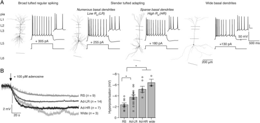 "Response size depends on the subtype of layer 5 (L5) pyramidal cells. (A) Morphological reconstruction of soma and dendrites and corresponding electrophysiological profile from L5 pyramidal subtypes. Note that ""wide"" L5 neurons (right) were rare (∼6% of total L5 neurons). The electrophysiological response is shown when minimally 10 APs were elicited with corresponding current steps below. The inset shows a magnification of the first 3–4 spikes (scale bar: 25 mV, 50 ms). (B) Left, average traces of the RMP during bath application of 100 μM adenosine (start at arrow) for the 4 L5 pyramidal subtypes. Right, adenosine-induced hyperpolarization of the RMP (RS, n = 9; Ad-LR, n = 14; Ad-HR, n = 7, wide, n = 3). *P < 0.05."