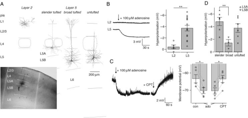 Heterogeneity of adenosine sensitivity is also apparent in rat somatosensory cortex. Heterogeneity of adenosine sensitivity is also apparent in rat somatosensory cortex. (A) Morphological reconstruction of the soma and dendrites from pyramidal neurons in layers 2 and 5 of the somatosensory cortex. Inset at left bottom shows an example staining with layer borders indicated as dotted lines. (B) Left, average response of the RMP of excitatory neurons in layers 2 and 5 during bath application of 100 μM adenosine (start at arrow). Right, average adenosine-induced hyperpolarization of layer 2 pyramidal neurons (n = 5) and layer 5 pyramidal neurons (n = 15). (C) Example trace of the RMP during application of 100 μM adenosine, followed by coapplication of 5 μM A1R antagonist CPT. Right, average responses during control (con) and 100 μM adenosine (ado) conditions, and during coapplication of 1–5 μM CPT (n = 5). (D) Adenosine-induced hyperpolarization of the RMP for layer 5 pyramidal neuron subtypes (slender tufted, n = 6; broad tufted, n = 3; untufted, n = 6). Sublaminar location of neurons is indicated for layer 5A (upward triangles) or 5B (downward filled triangles). *P < 0.05, **P < 0.01.