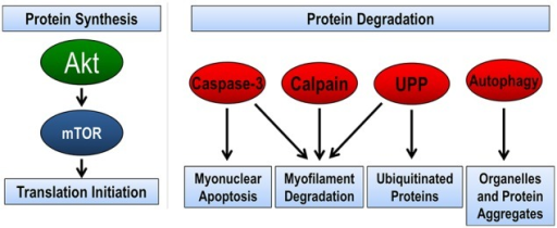 Pathways regulating skeletal muscle size. The balance between protein synthesis and protein degradation determines muscle size. Muscle protein synthesis is regulated through the Akt/mTOR pathway. There are four pathways of protein degradation to degrade cellular components, caspase-3 removes nuclei (apoptosis) and along with the calpain family of proteins can breakdown the contractile proteins (myofilaments) in muscle into smaller polypeptides. The ubiquitin-proteasome pathway (UPP) breaks down the small peptides and any other protein targeted by ubiquitination for degradation. Finally, autophagy breaks down organelles, such as mitochondria and endoplasmic reticulum, and large protein aggregates.